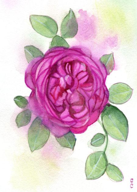 Illustration Rose-christelle-cuche