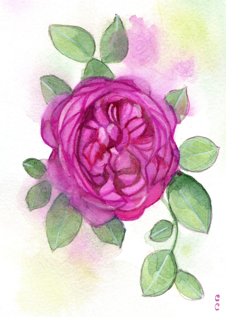 Illustration Rose-christelle-cuche